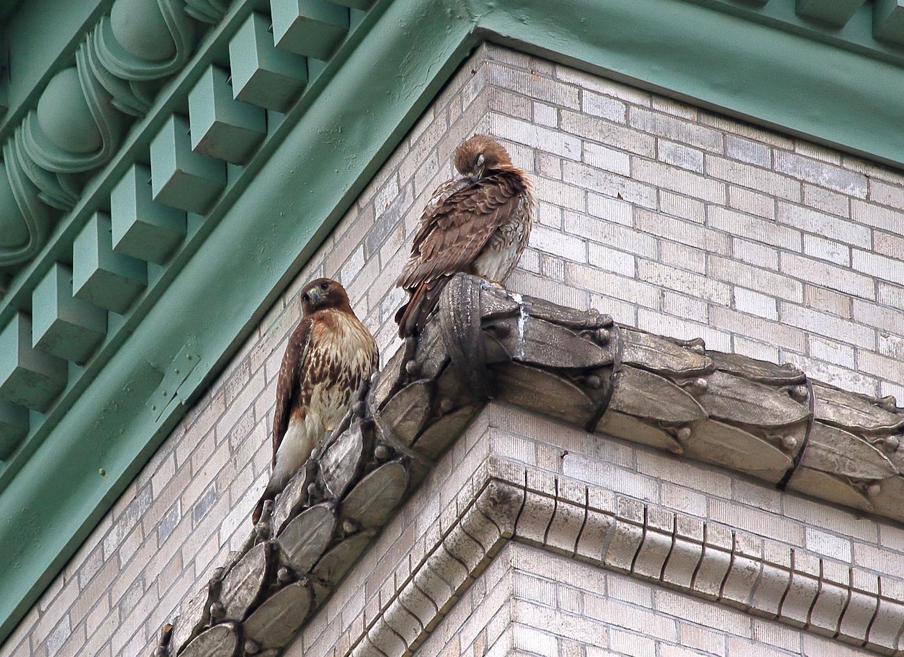 Hawk Parents Togetherness Babies Hop Flapping June 8th